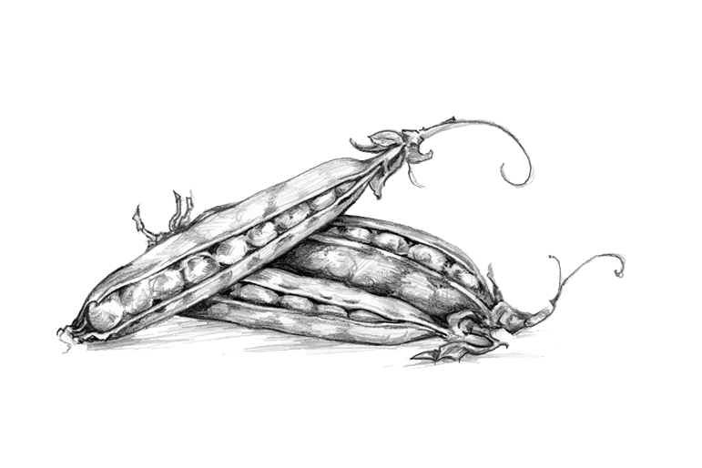 Hand Drawn Illustration of Peas